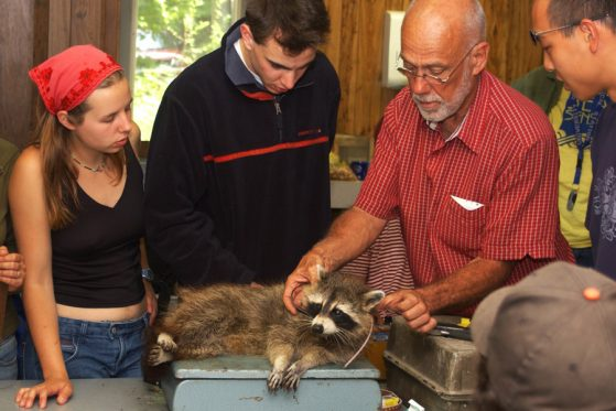 instructor places a tracking collar on a raccoon.