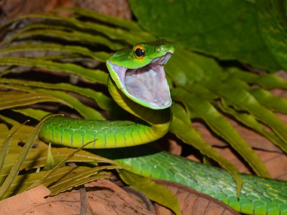 """A Very Happy or Very Angry Parrotsnake (Leptophis ahaetula),"" Cusuco National Park, Honduras. In this instance, the snake is happy to share all the exciting news. Image: John David Curlis, EEB graduate student and Honorary Photographer of the Year."