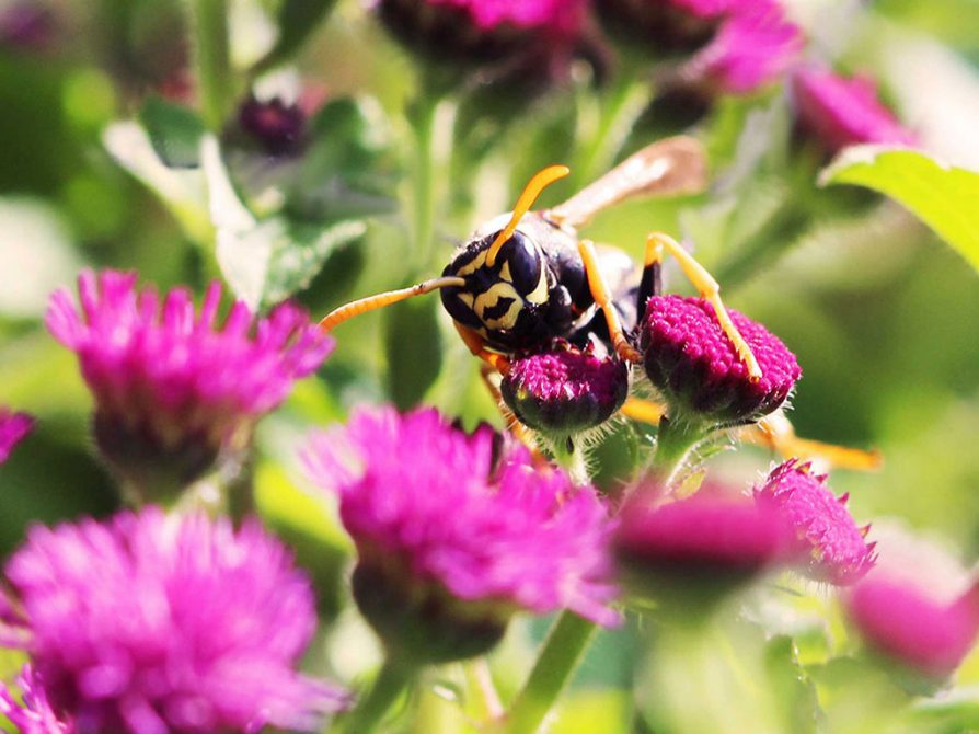 A Polistes dominula paper wasp on a bright pink flower