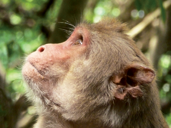 A close photo of a young Rhesus Macaq monkey looking up.