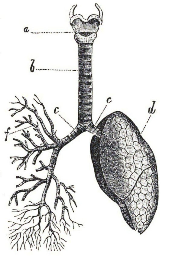 A drawing of a lung showing the outside of the lung on the right and the inside of the lung on the left.