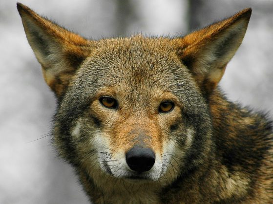 Red wolf (Canis rufus), closeup of the face