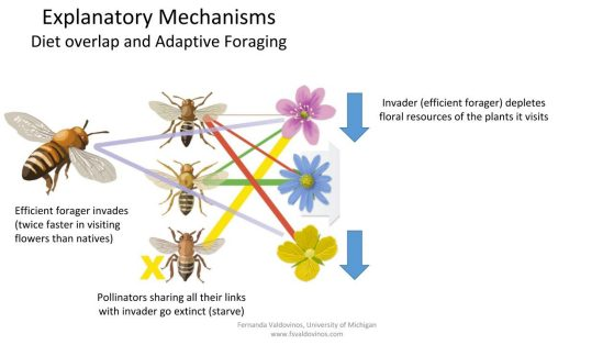 Native pollinators without alternative resources go extinct, while the ones that reassign their visits to alternative plants decrease their density due to foraging on less profitable resources. Illustration: John Megahan