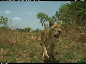Lioness caught by camera capture