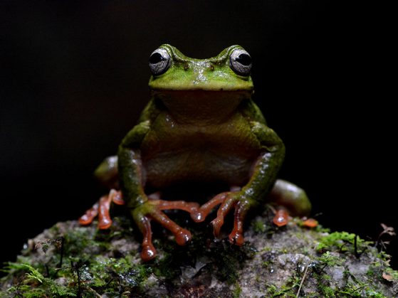 First place: King of the Mountain: The Exquisite Spike-thumb Frog (Plectrohyla exquisita), Cusuco National Park, Honduras, John David Curlis