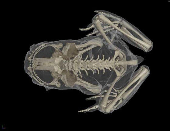 "CT scan of Ascaphus truei, the Pacific tailed frog. The ""tail"" is actually the male genitalia. Images credit: Ed Stanley, Florida Museum of Natural History"