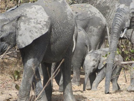 Elephants photographed during a University of Michigan-led camera survey of West African mammal communities.