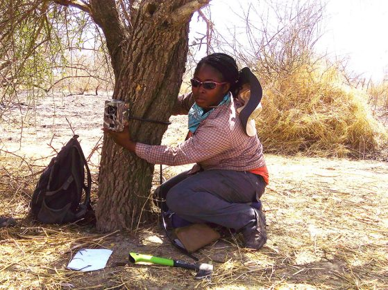 University of Michigan wildlife ecologist Nyeema Harris and her crew attach a digital camera to a tree for a study of human pressures on wildlife within the largest protected area in West Africa.